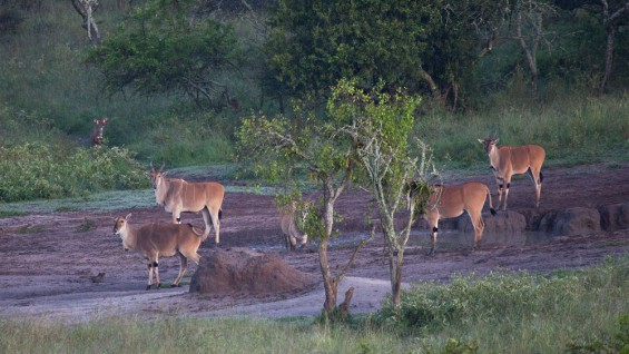 Viewing Wildlife around Mburo Safari Lodge