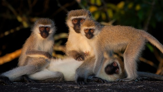 Velvet Monkeys - Mburo Safari Lodge