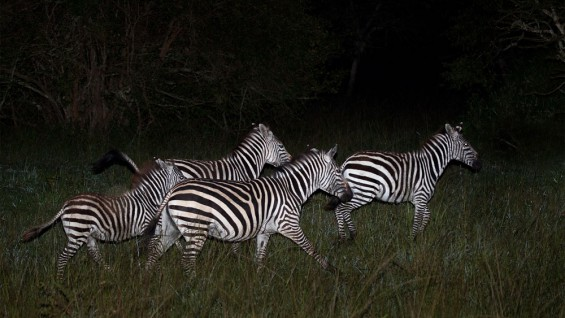 Zebras around Mburo Safari Lodge