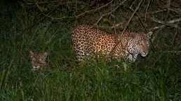 Leopards close to Mburo Safari Lodge