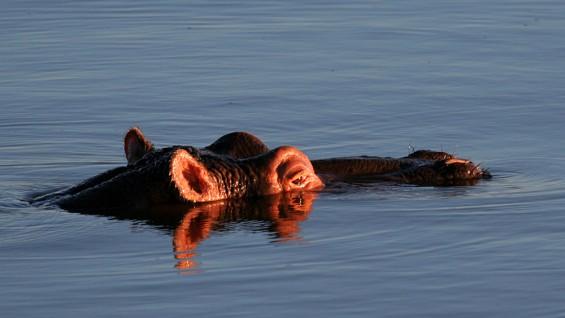 Mburo Uganda Hippo