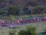 Elands and Zebras