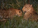 Leopard Lake Mburo National Park