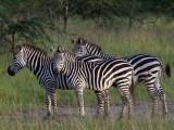 Mburo Uganda Zebra